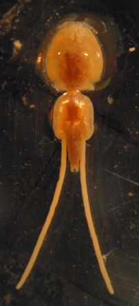 Adult female L. salmonis