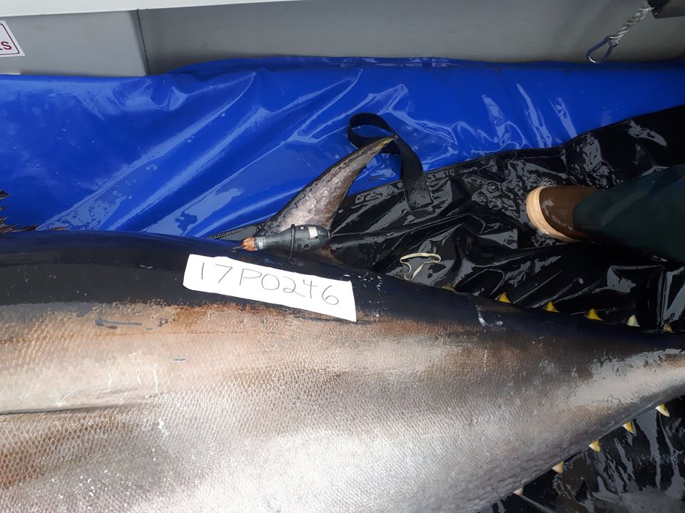 Tagged Bluefin tuna prior to release. Photo Credit Ross O'Neill, Marine Institute.