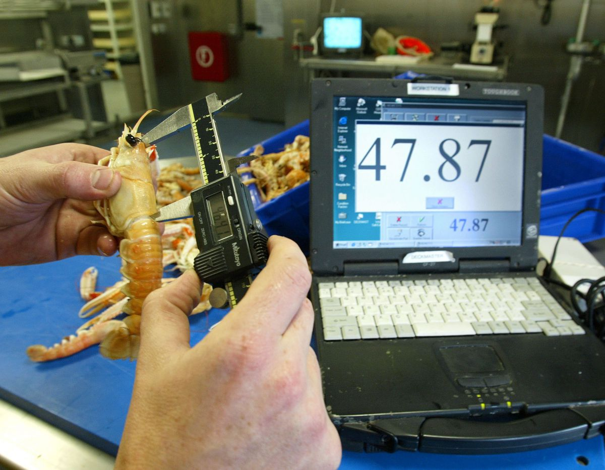 Measuring Prawns with electronic callipers