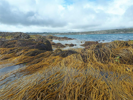 Ireland's seaweed resource.