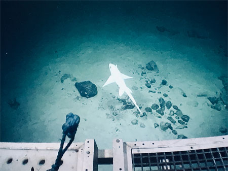 An albino rabbitfish (Chimaera monstrosa) visible on the ROV Holland 1 camera in the  Porcupine Bank Canyon. Photo: Kennedy Browne