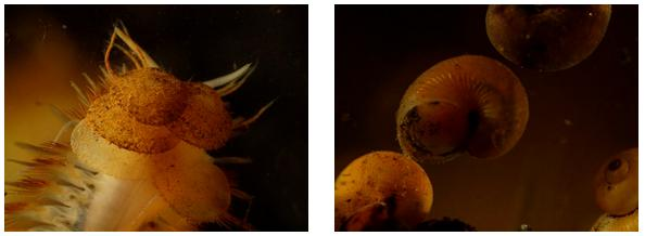 ROV images of deep sea marine worm and sea snail.