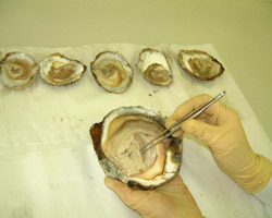 Shellfish Biotoxins,Testing Oysters in Laboratory.
