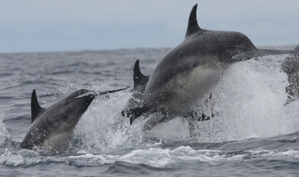 A group of offshore bottlenose dolphins, about 150km west of Ireland, photographed by GMIT's Dr Joanne O'Brien on last year's 'Cetaceans on the Frontier' cruise