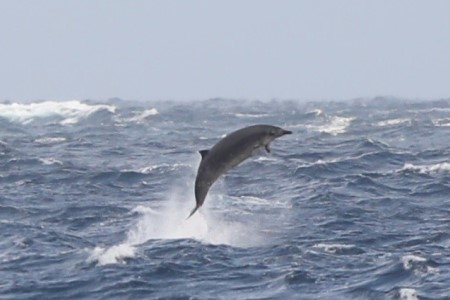 Breaching beaked whale Photo credit: Ashley Bennison