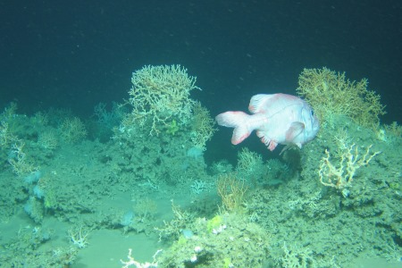 Irish deep water coral reefs changing faster than previously thought