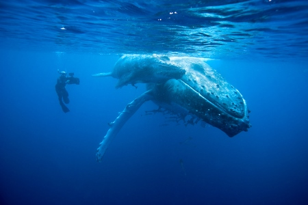 Doug Allan swims beside Humpback Whale and her calf, Tonga, South Pacific