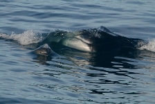 FIn whale and common dolphin West Cork Conor Ryan IWDG