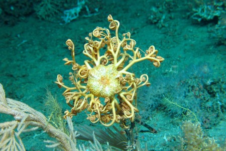 Gorgonocephalus  - An Ophiuroid Basket star