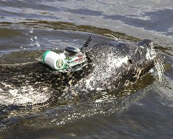 Harbour seal in Kenmare Bay, Co. Kerry sporting a GPS tag. Photo copyright Michelle Cronin UCC)