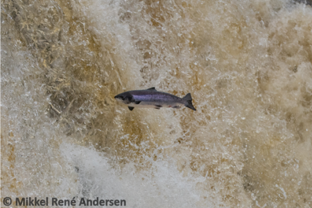 An adult Atlantic salmon jumping from the water. Picture credit to Mikkel René Andersen
