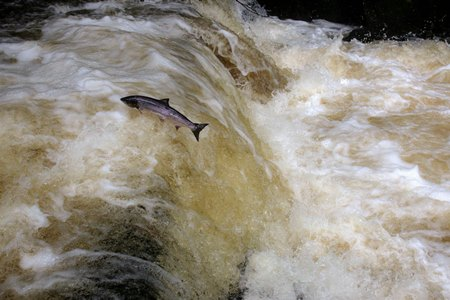Leaping Salmon. Picture Cr Ger Rogan