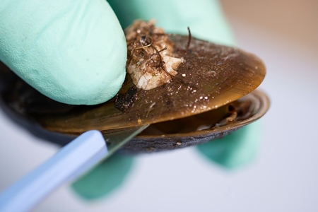 Mussel been opened and tested in the Marine Institute lab. Photo Andrew Downes, XPOSURE