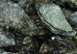 Pacific oysters (Crassostrea gigas)
