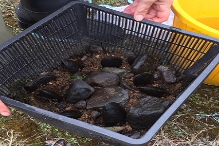 Marine Institute and NPWS breeding programme aims to safeguard rare freshwater pearl mussels