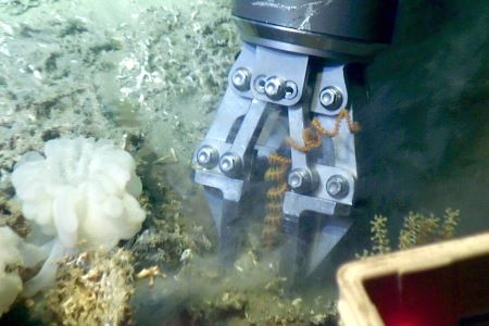 The ROVs robotic arm collect an Antipatharian (black coral) Stichopathy sp. from one of the Moira Mounds. Also visible are white glass sponges, Madrepora oculata (calcareous coral) and (bottom right) an octocoral (Alcyonacea)