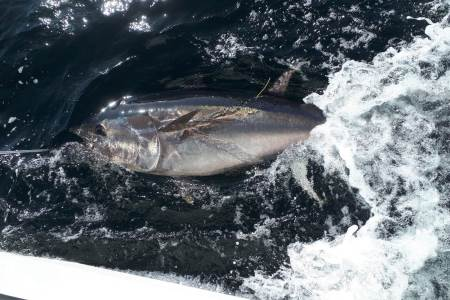 Tagged Bluefin Tuna, Donegal Bay 2019. Photo credit to Adrian Molloy