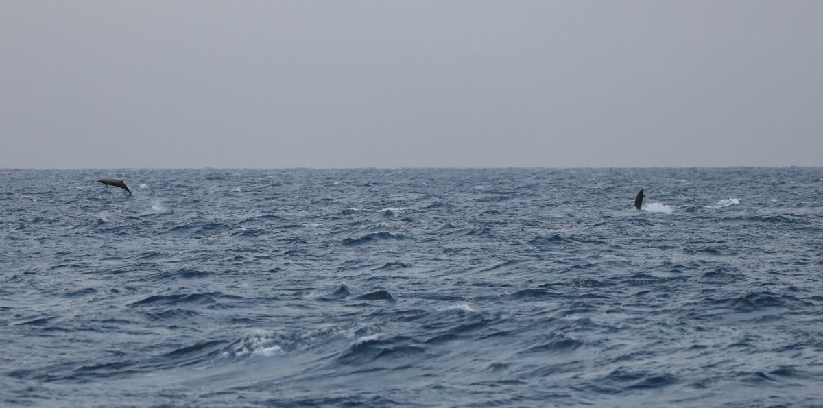 Two beaked whales breach together. Photo credit: Ashley Bennison