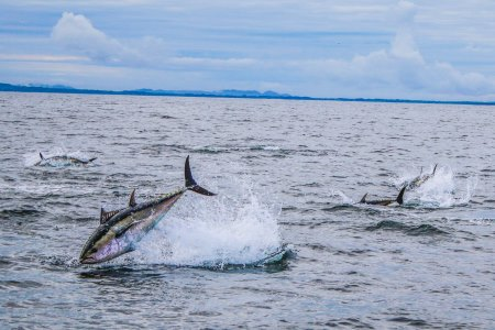 Bluefin Tuna, Donegal Bay. Photo courtesy of David Morrissey and Inland Fisheries Ireland.