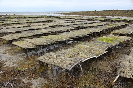 Latest research on shellfish Safety presented at workshop. Oyster Farm. Photo Fionn O Fearghail, Marine Institute 2017..