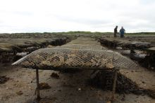 Oyster Farm. Photographer Fionn O'Fearghail, Marine Institute