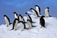 Adelie Penguins on Snow. Copyright Travel Wild Expeditions