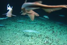Government supported scientists discover rare 'shark nursery' in deep waters west of Ireland